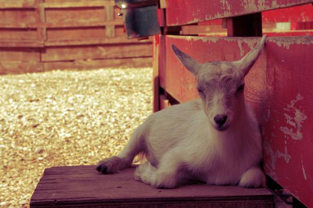colasantis-baby-goat-3
