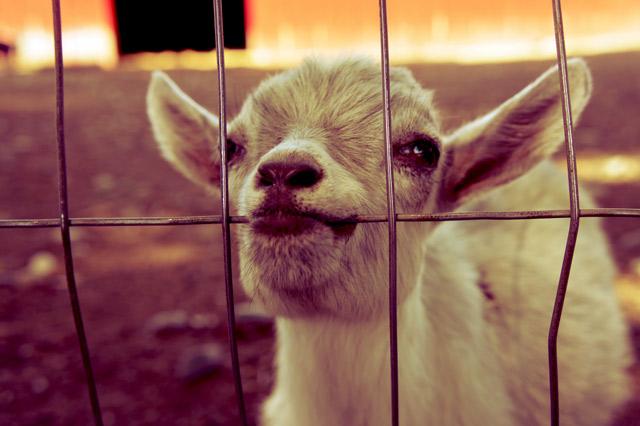 colasantis-baby-goat