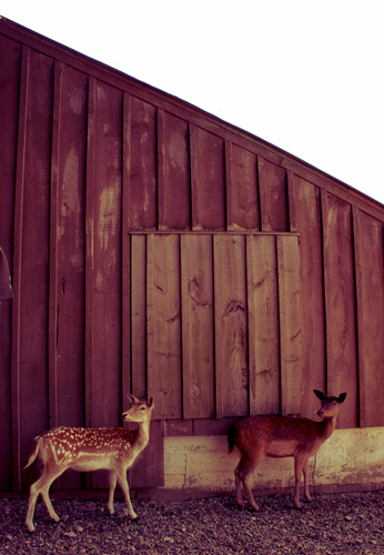 colasantis-deer-1