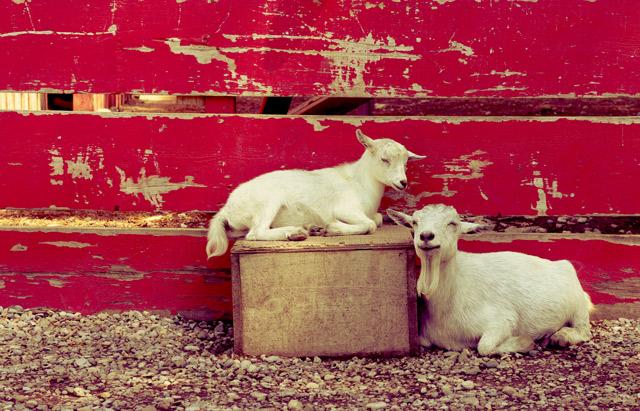 colasantis-goats-1