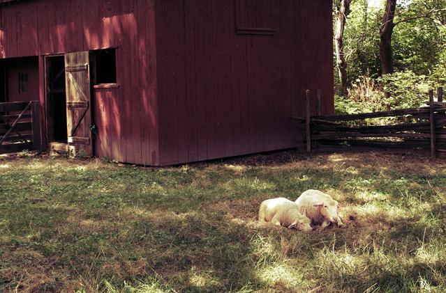 john-r-park-homestead-sheep